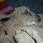 lamb (1)