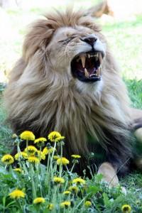 dent de lion, dandelion