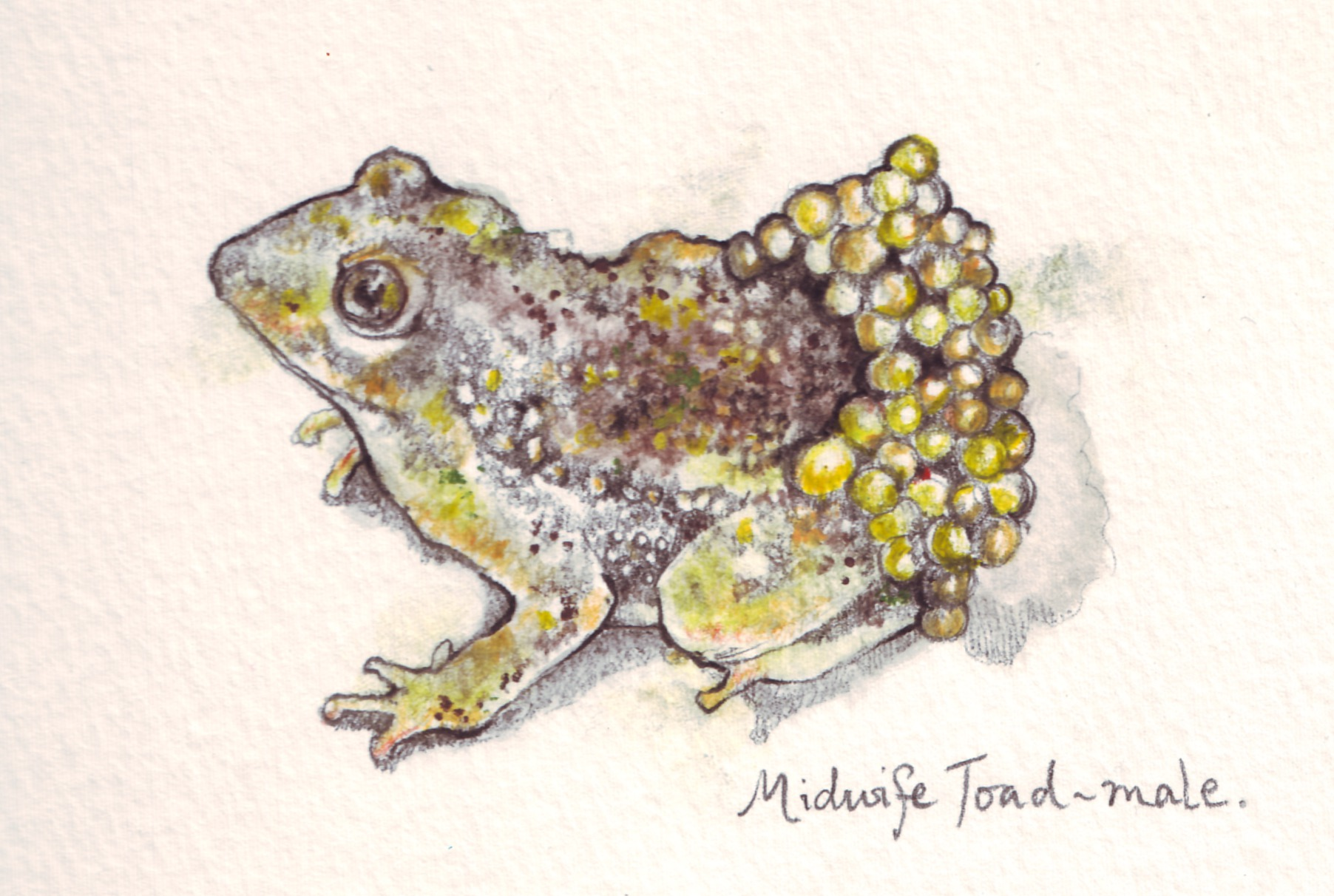 Midwife Toad-0